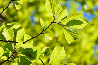 Feuilles d'un arbre